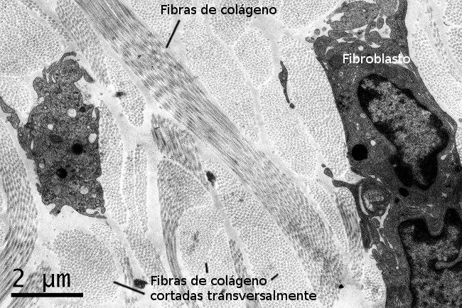 02-matriz-colageno-2